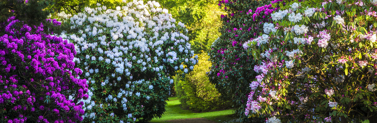 Rhododendrons at The Woodland Garden