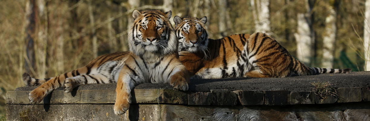 Red and Yana the Tigers