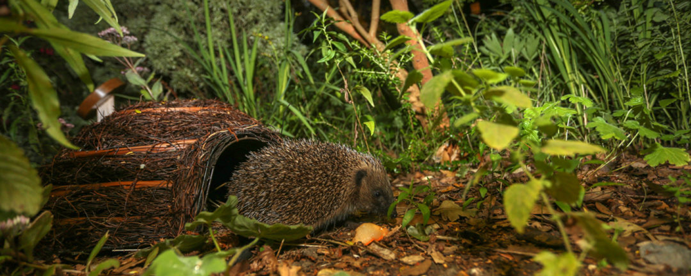 A baby hedgehog in the undergrowth