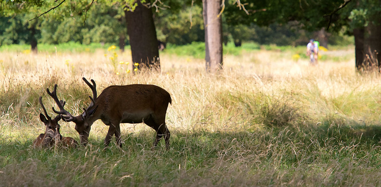 Deer in the grass at Richmond Park