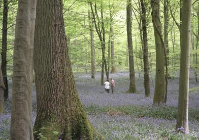 Bluebell Woods
